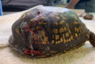 Turtle Rescuers Have Been Using Recycled Bra Clasps to Save Injured Turtles