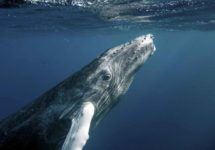 Humpback Whale Population Bounces Back From Near-Extinction – From Just 450, to Over 25,000