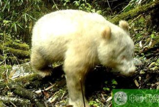 For the First Time in History, an Albino Giant Panda Has Been Caught on Camera