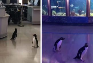 Videos Capture Penguins Going On Adorable 'Field Trip' Around Their Aquarium During Shutdowns