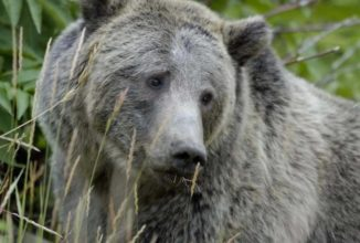 Court Rules That Grizzly Bears Near Yellowstone Will Remain Protected From Sport Hunting