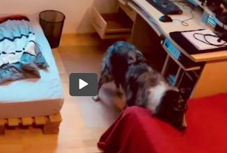 Clever Australian Shepherd Appears to Outsmart Owner, So He Can Get Two Treats